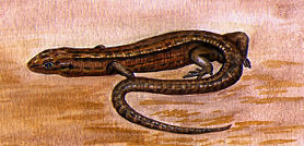 illustration of a Common Lizard