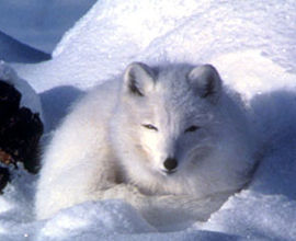 Arctic fox (Image by K Morehouse at US Fish and Wildlife Service USFWS)