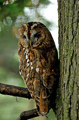Photo of a tawny owl