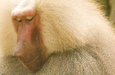 Hamadryas baboon.content