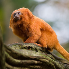 Picture of a Golden Lion Tamarin