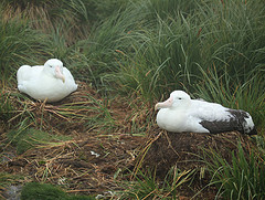 Wandering albatross nest - © Liam Q CC BY 2.0