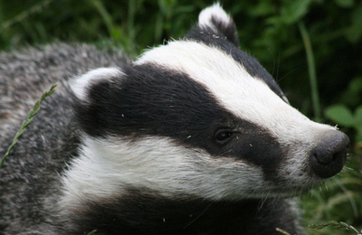 Badger.content