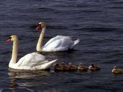 Picture of mute swans and their cygnets
