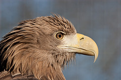 White Tailed Eagle © Arjan Haverkamp CC BY 2.0