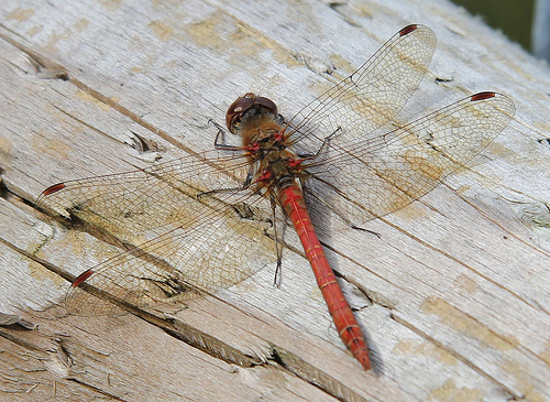 Dragonfly © Karen Roe CC BY 2.0