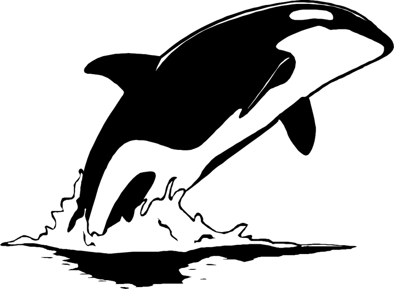Picture of a killer whale breaching