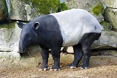Malayan Tapir © Allie Caulfield CC BY 2.0