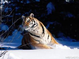 Picture of a Siberian Tiger