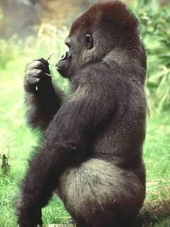 rainforest animals gorilla young people s trust for the environment