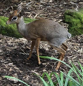 Lesser Malay Chevrotain (Mouse-Deer) © Dave Catchpole CC BY 2.0