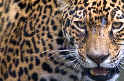 Jaguar.content