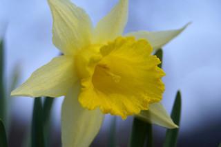 Wild Daffodil CC Andrew Head