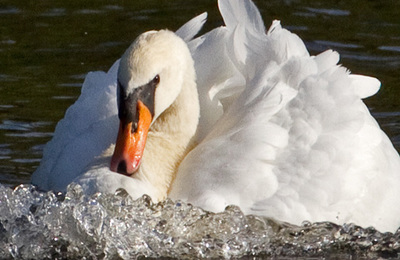 Swan %28mute%29.content