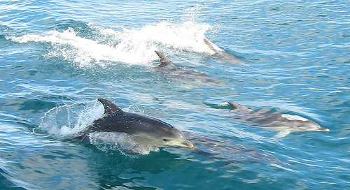 dolphins by docklandstony via flickr