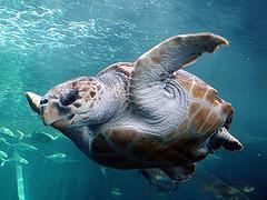 Loggerhead Turtle © Damien du Toit CC BY 2.0