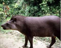 Picture of a tapir