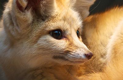 Fox %28fennec%29.content