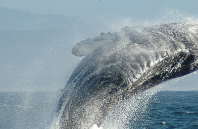 Whale %28humpback%29.content