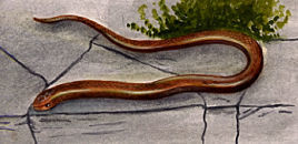 Illustration of a Slow Worm