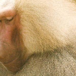 Hamadryas baboon.thumb