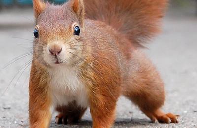 Squirrel %28red%29.content