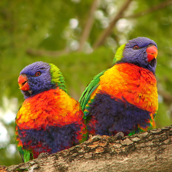 <p>A couple of lorikeets huddled together to keep warm. Taken at Auburn botanical gardens</p>