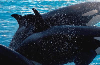 Whale %28killer%29.content