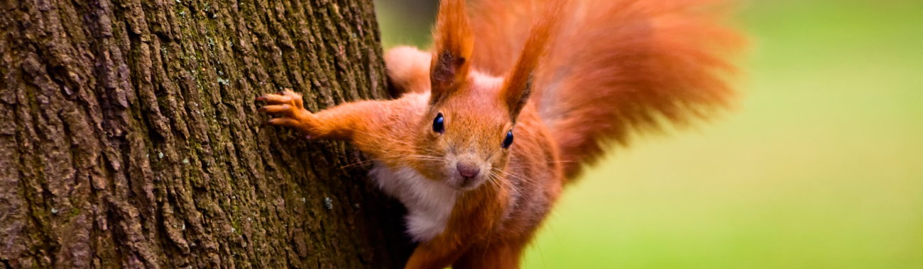 Redsquirrelbanner.full
