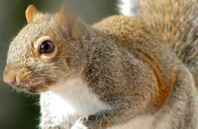 Squirrel %28grey%29.content