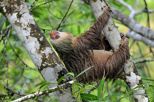 Two-toed Sloth © Geoff Gallice CC BY 2.0