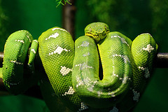 Emerald Tree Boa © Eric Kilby CC BY-SA 2.0