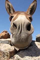 Donkey © Klearchos Kapoutsis CC BY 2.0