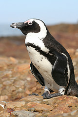 Jackass Penguin © Graham Racher CC BY-SA 2.0