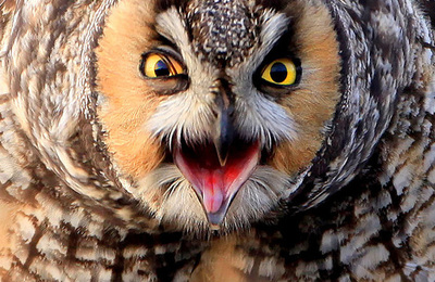 Owl %28long eared%29.content