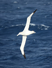 Wandering Albatross - Flickr © Liam Q CC BY 2.0