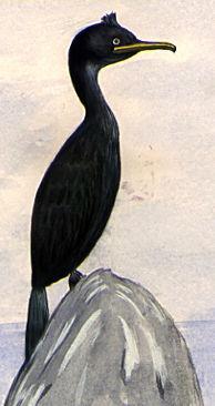 Illustration of a Common Shag