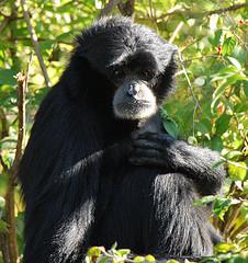 Siamang Gibbon © bobosh_t CC BY-SA .20