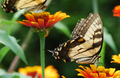 Swallowtail.content