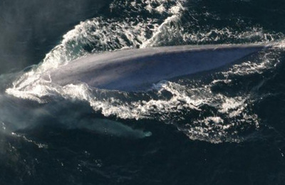 Balaenoptera musculus.content