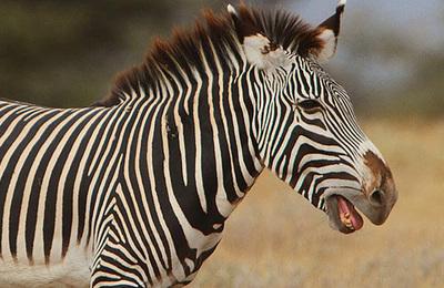 Zebra %28grevys%29.content