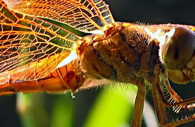Dragonflies.content