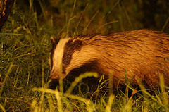 Badger © Nigel Wedge CC BY 2.0