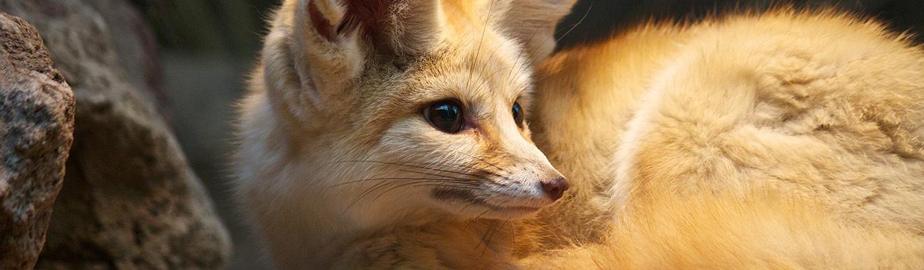 Fox fennec fox habits young people 39 s trust for the - Pagina da colorare fennec fox ...