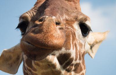 Giraffe.content