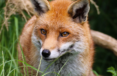 Fox %28red%29.content