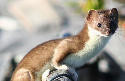 Weasel.content