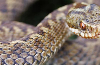 Reptiles %28british%29.content