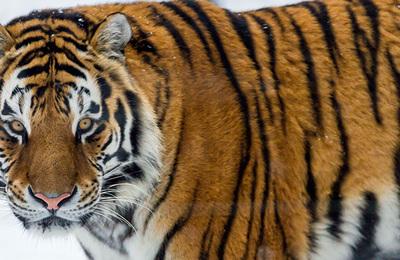 Tiger %28siberian%29.content