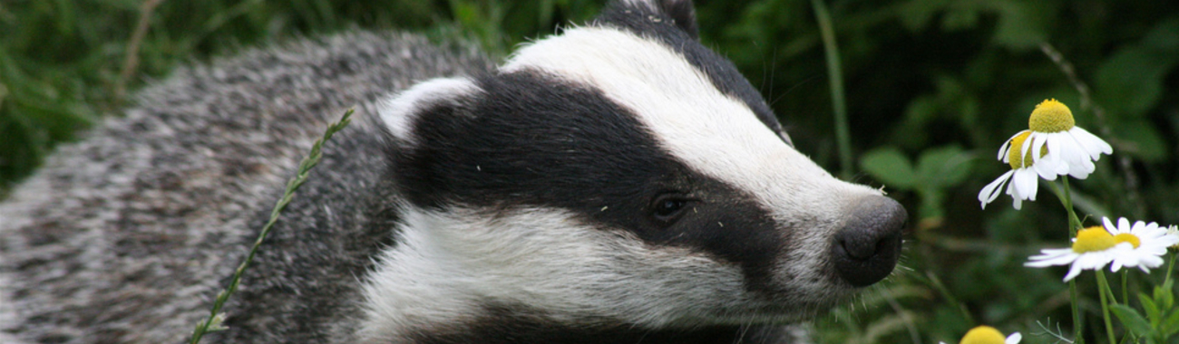 Badger.full